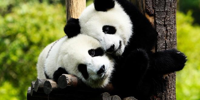 panda bear facts