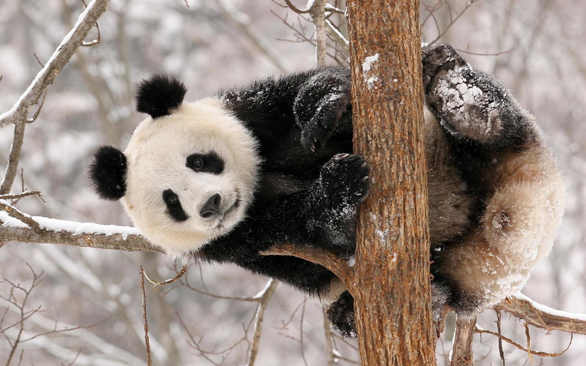 panda bear tour