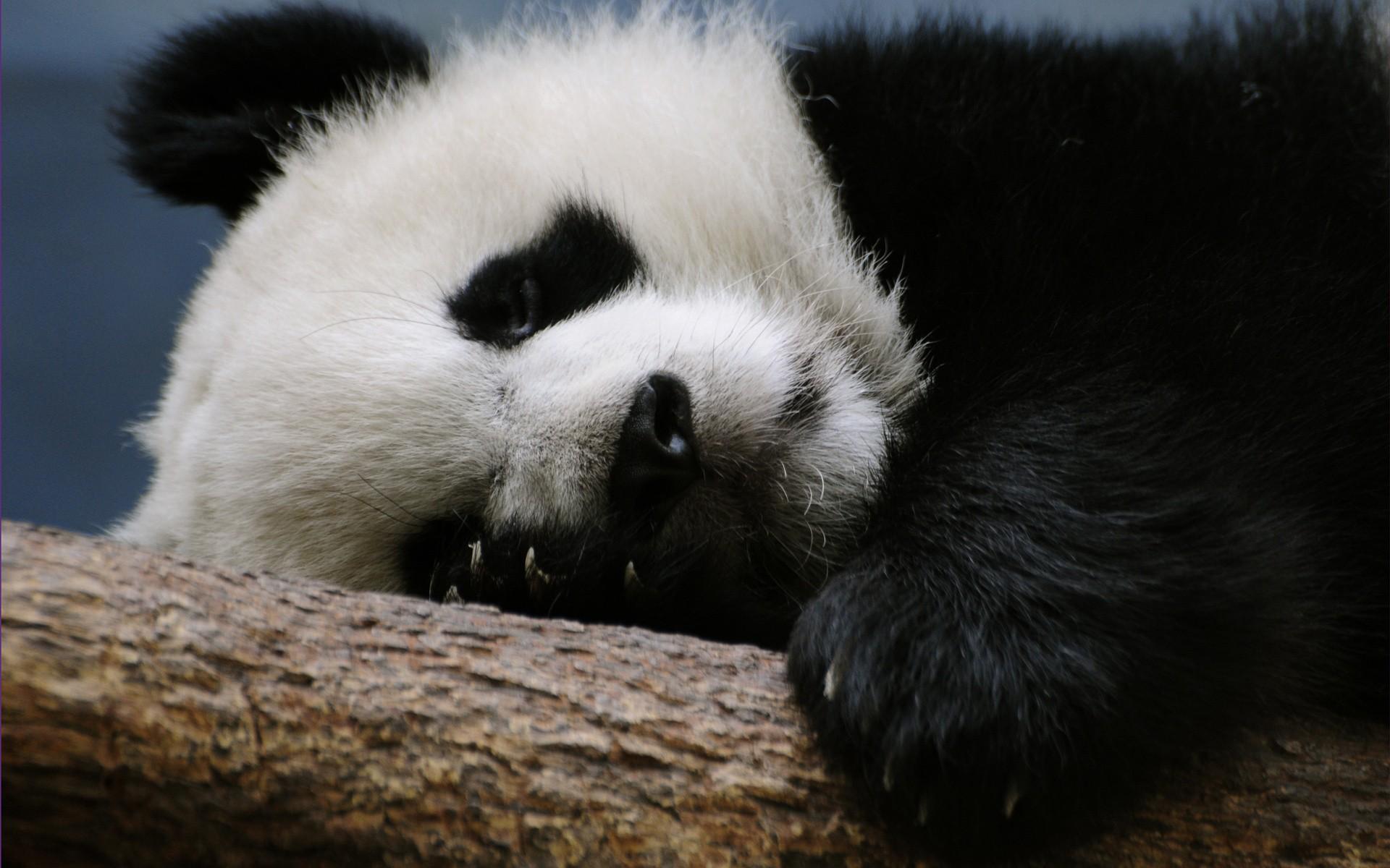 red panda bear