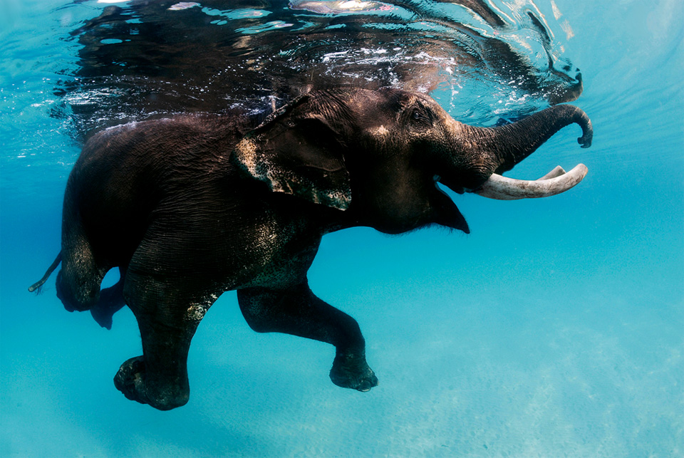 swimming elephant andaman islands