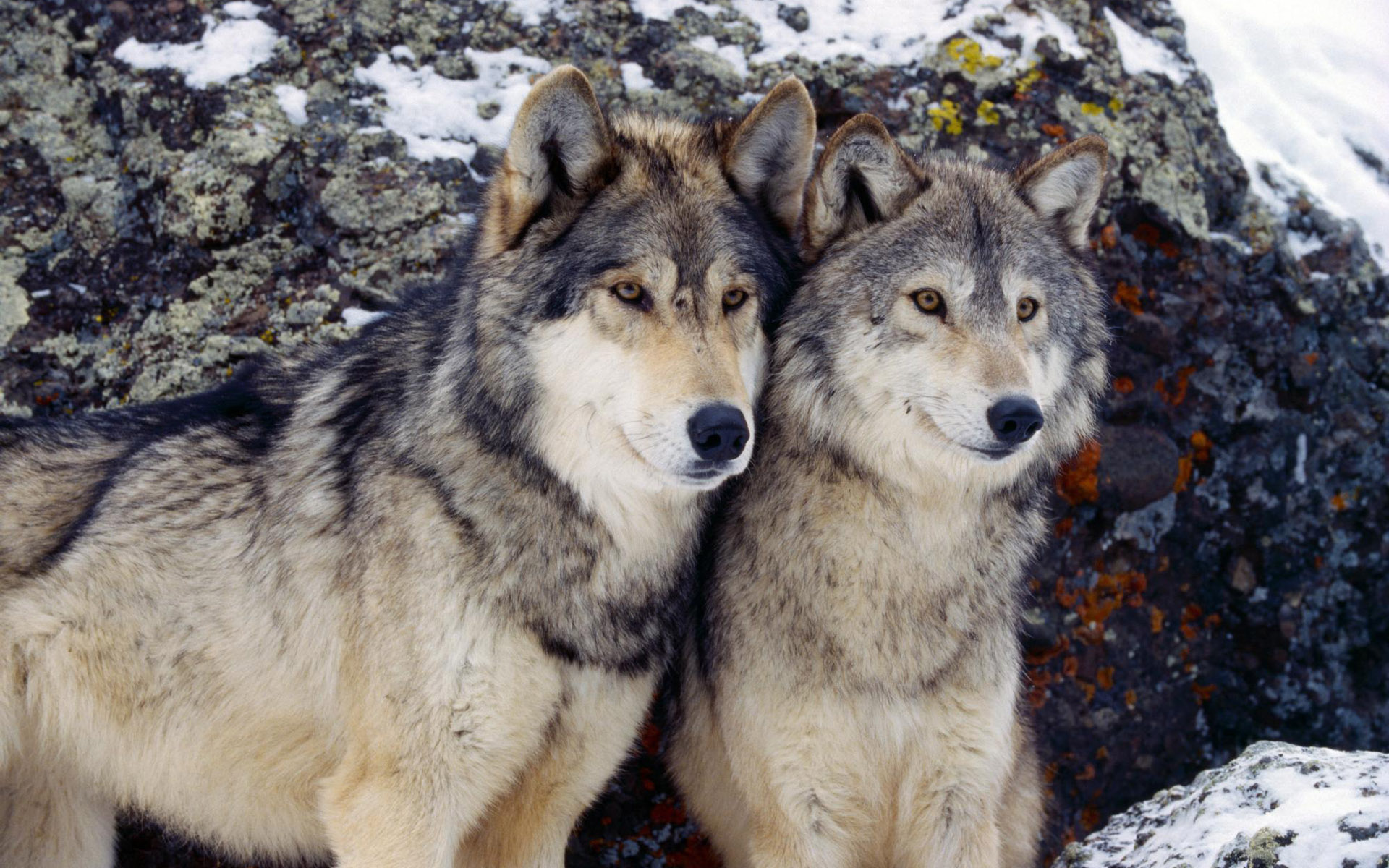 two wolfs nice photo