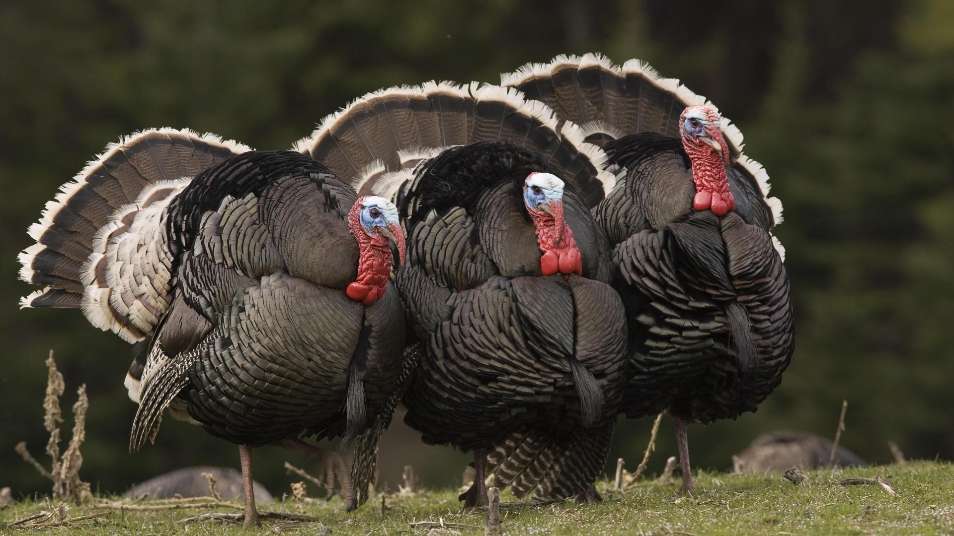 Male Turkeys Pic