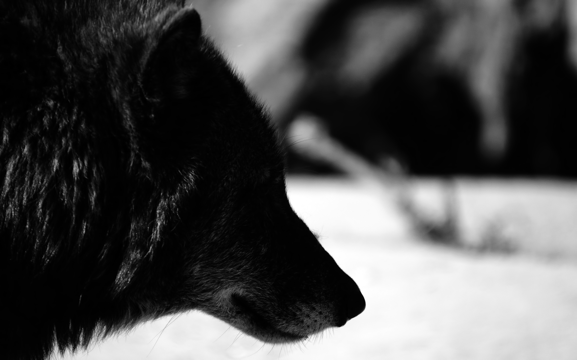 black wolfs pictures