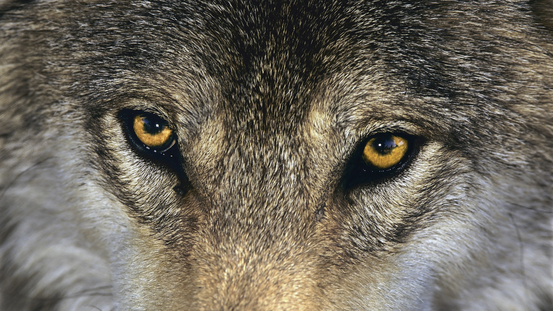 wolf close