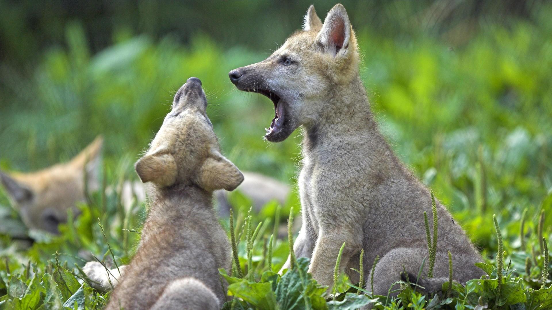 wolf pubbies