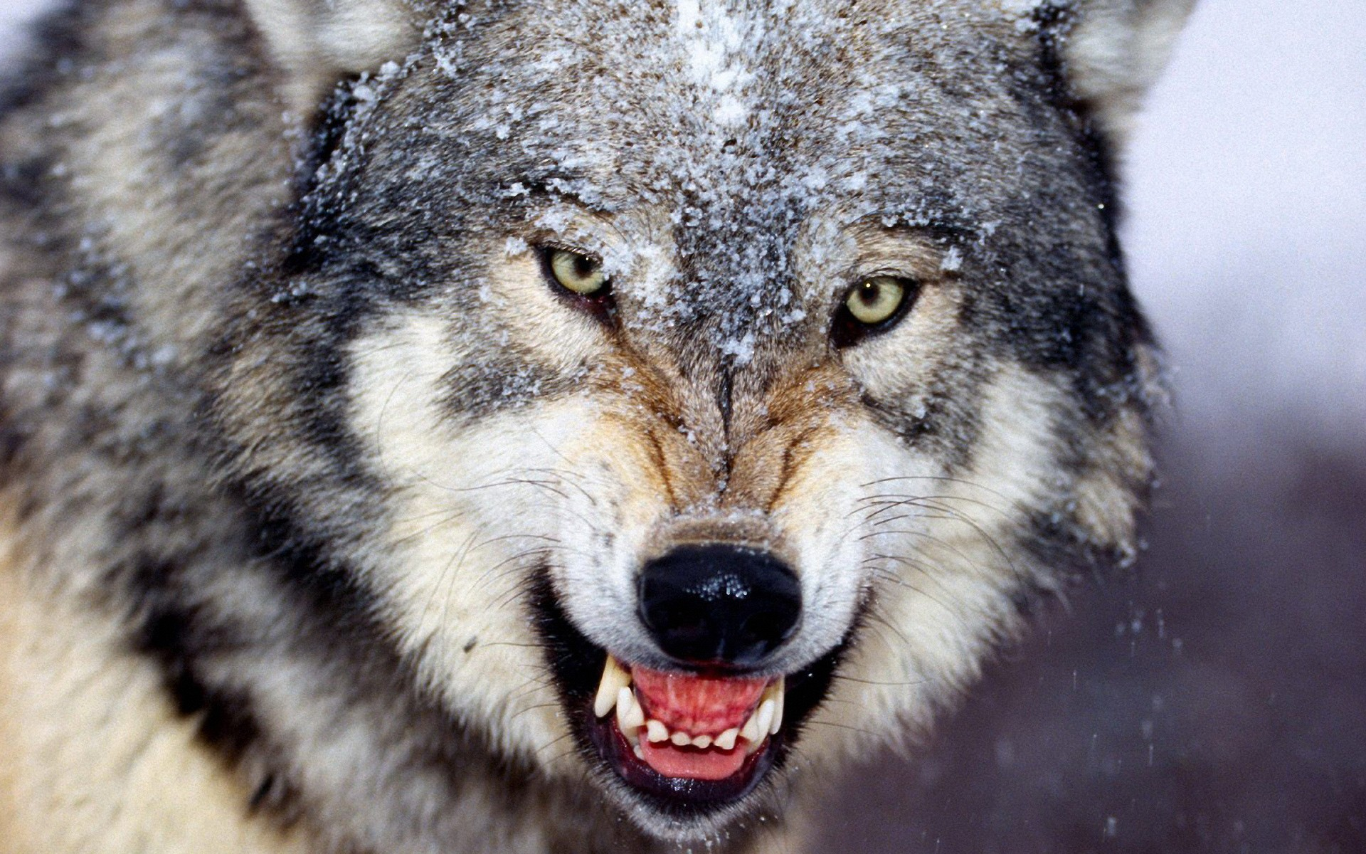 wolf scary