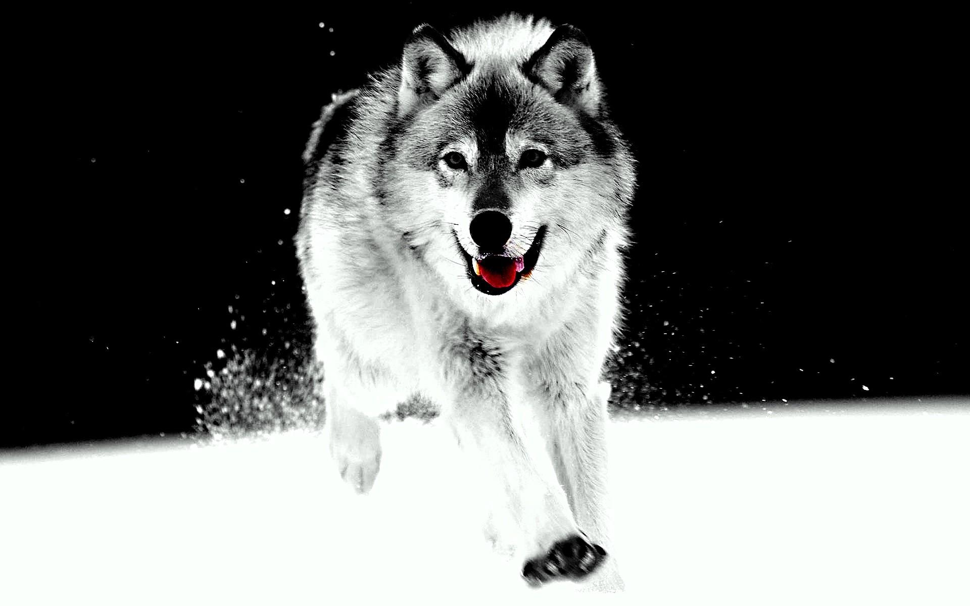wolf snow 2
