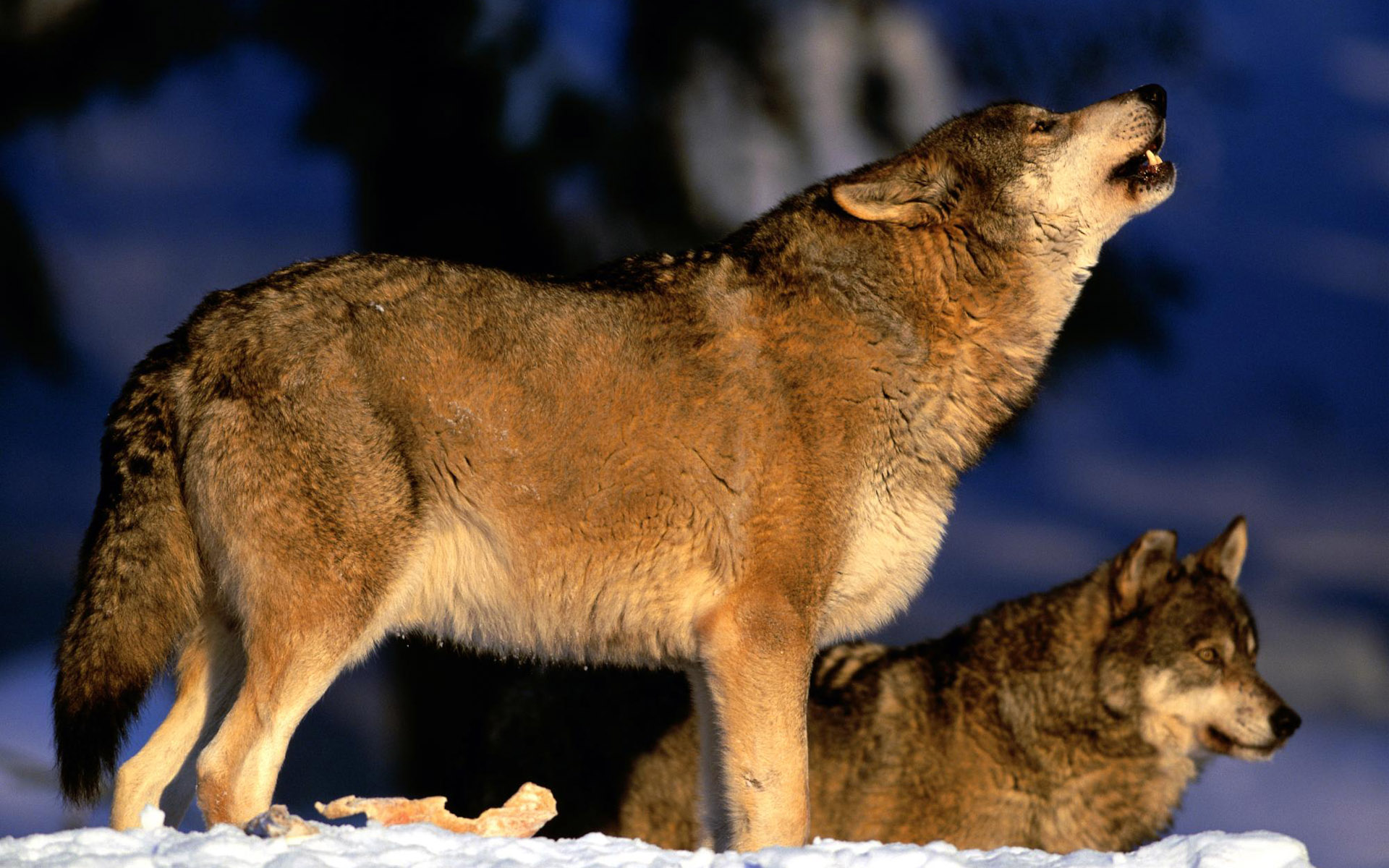 wolf nice photo