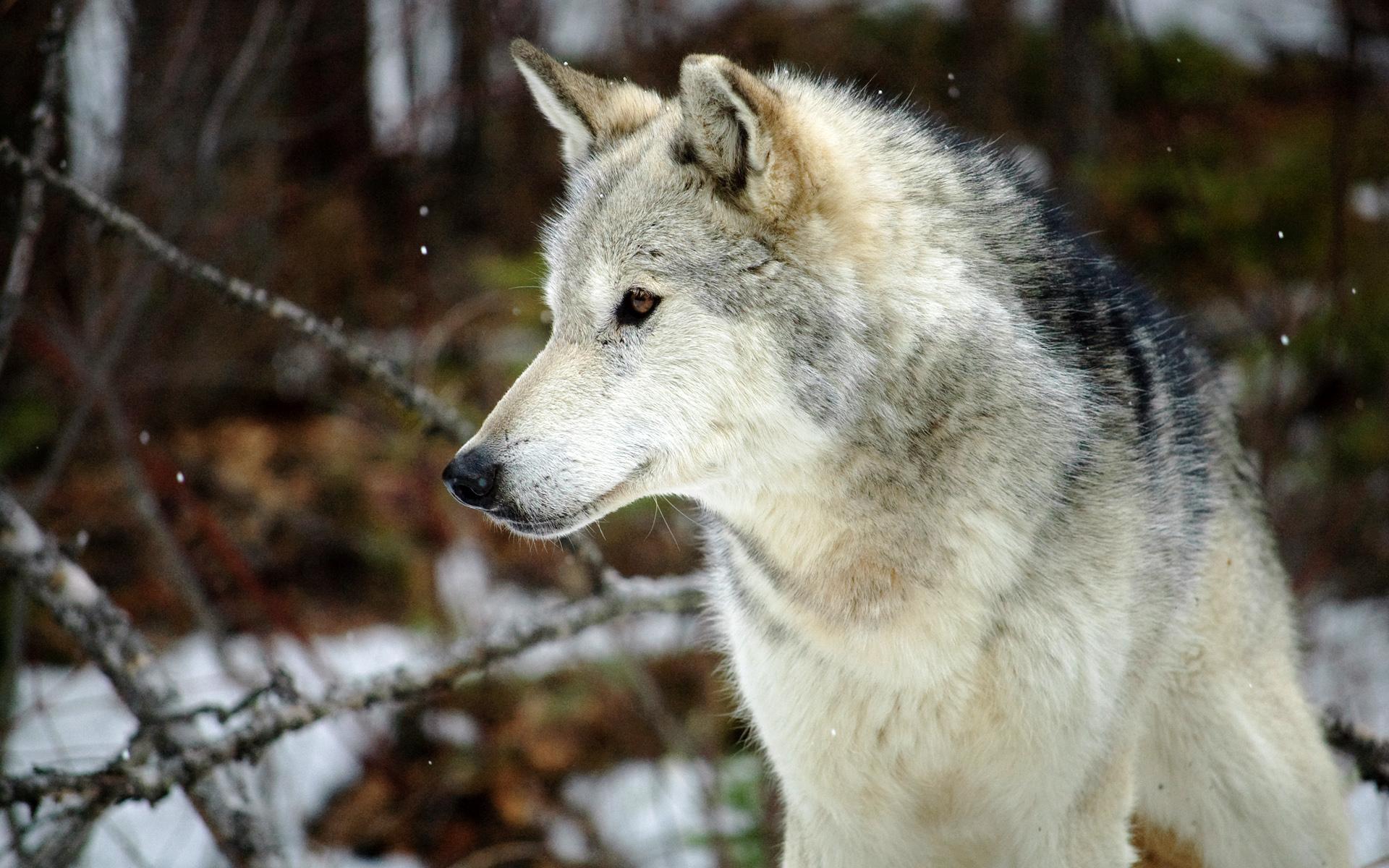 wolf white grey
