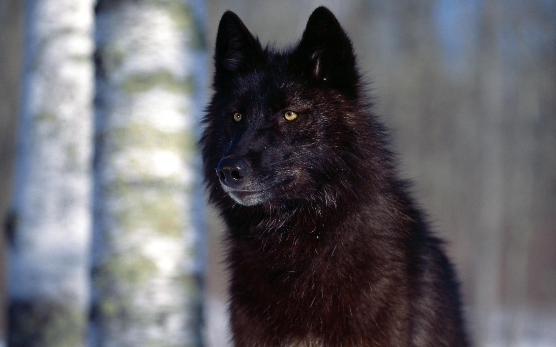 wolf yellow eyes