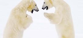 polar-bear-fight