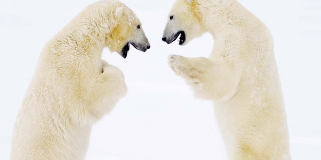 polar-bear-fight