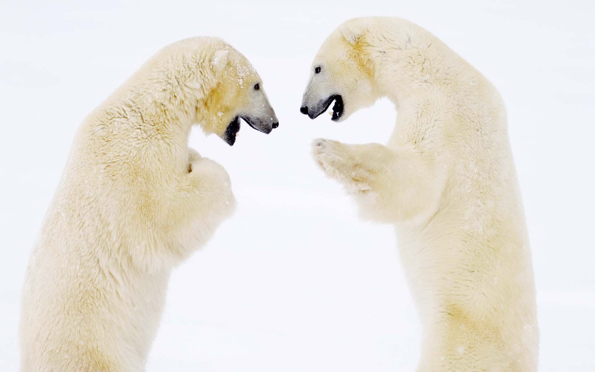 polar bear images