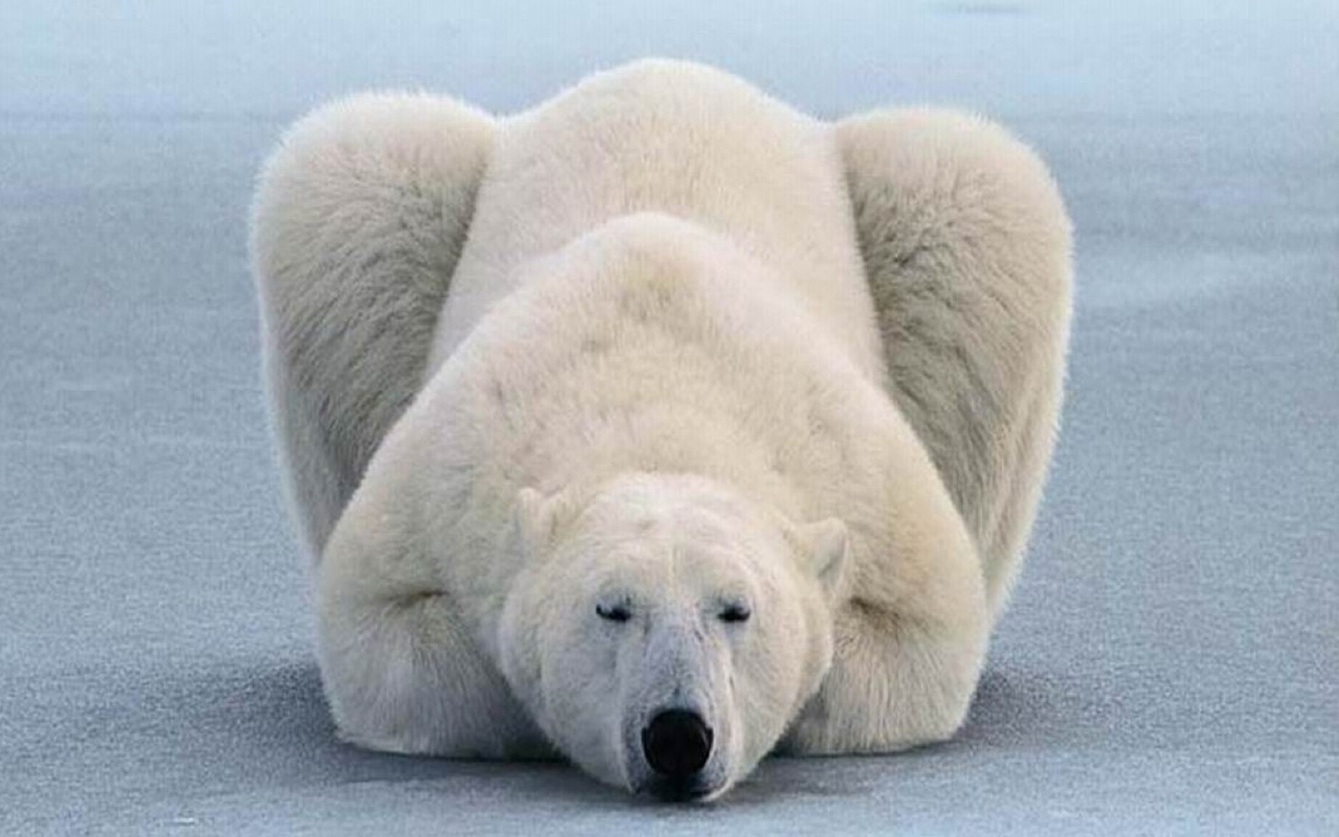 polar bear Pic