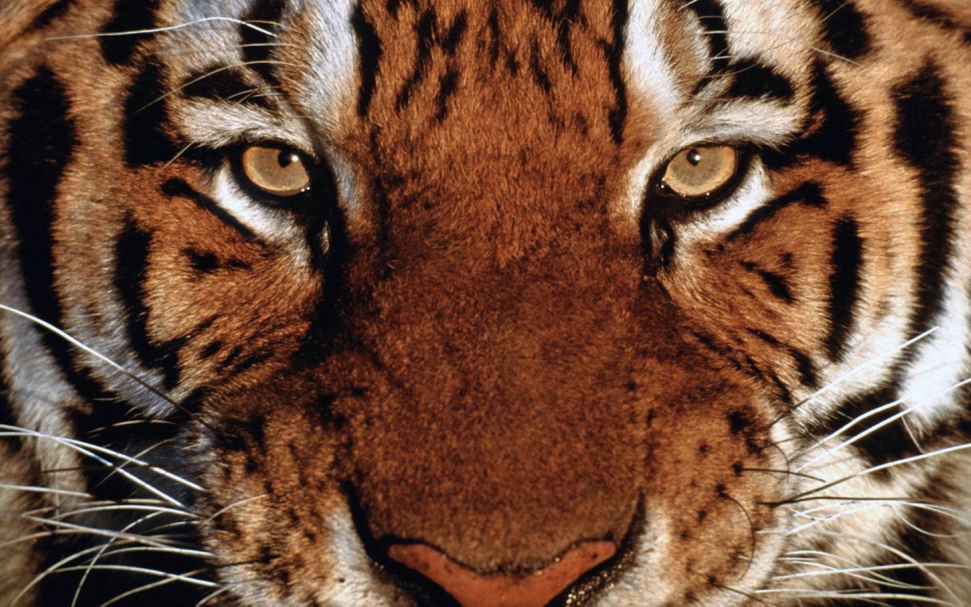 Tiger Close