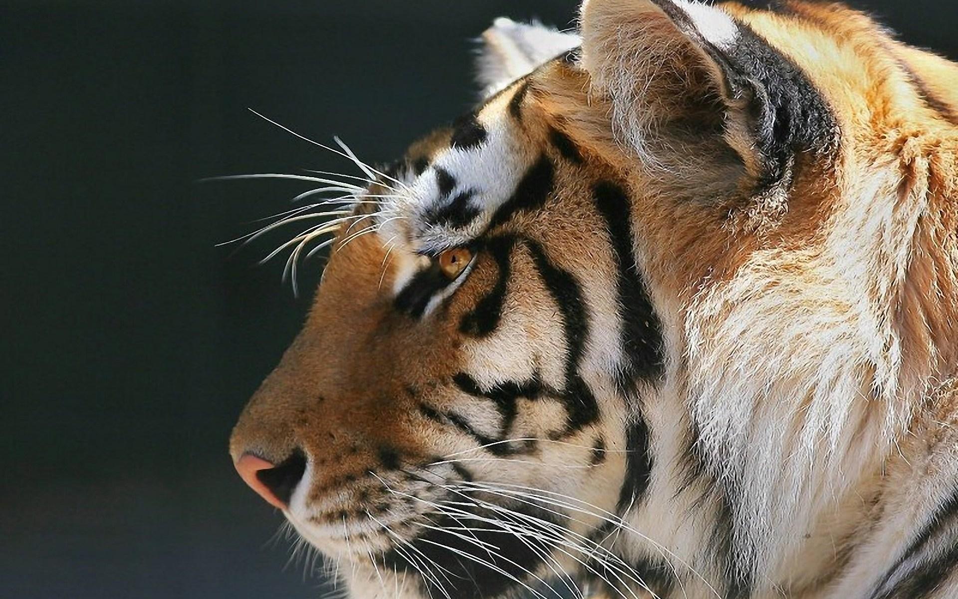 Pics of Tigers