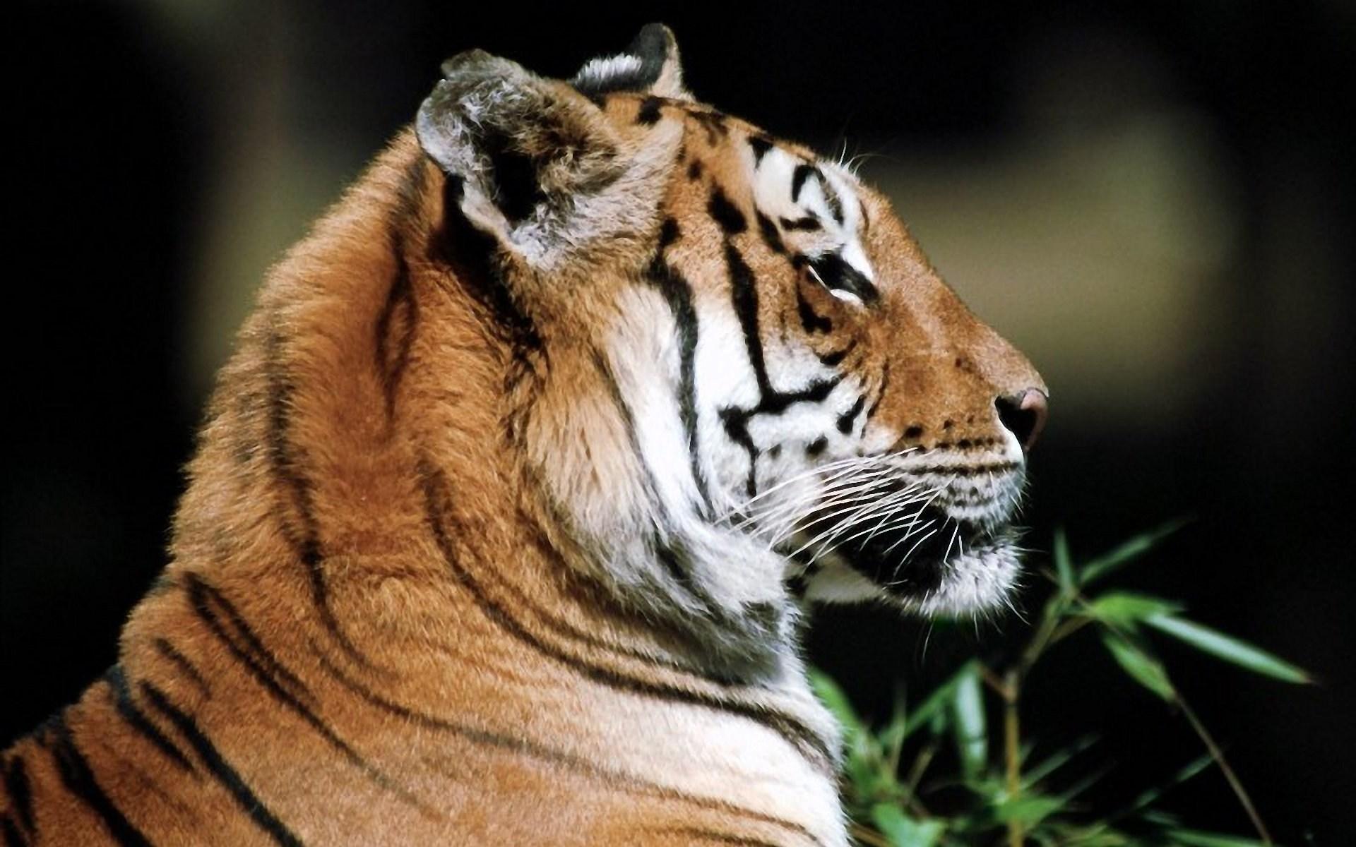 Siberian Tiger Facts
