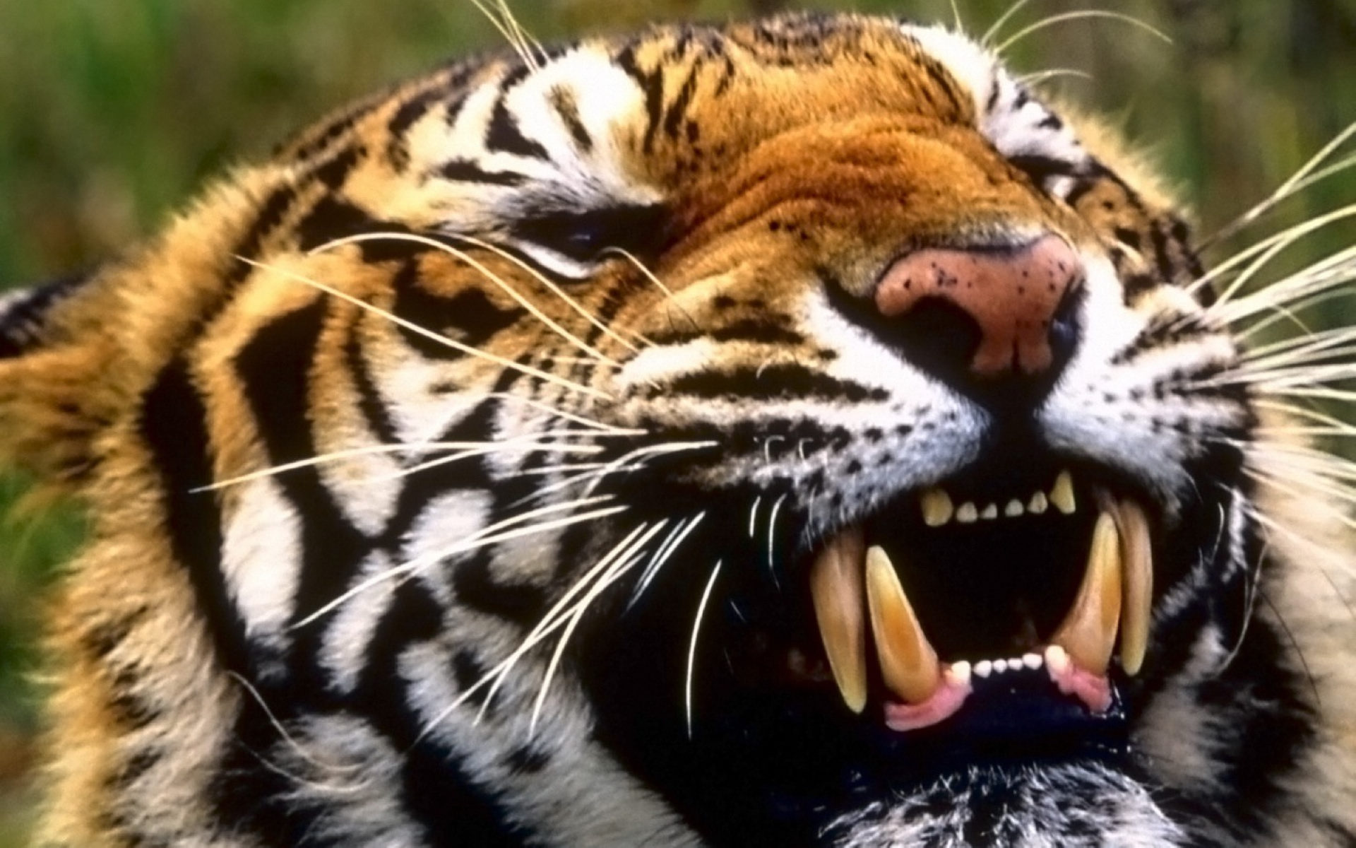 Ttiger Teeth