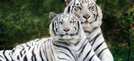 two-white-tigers