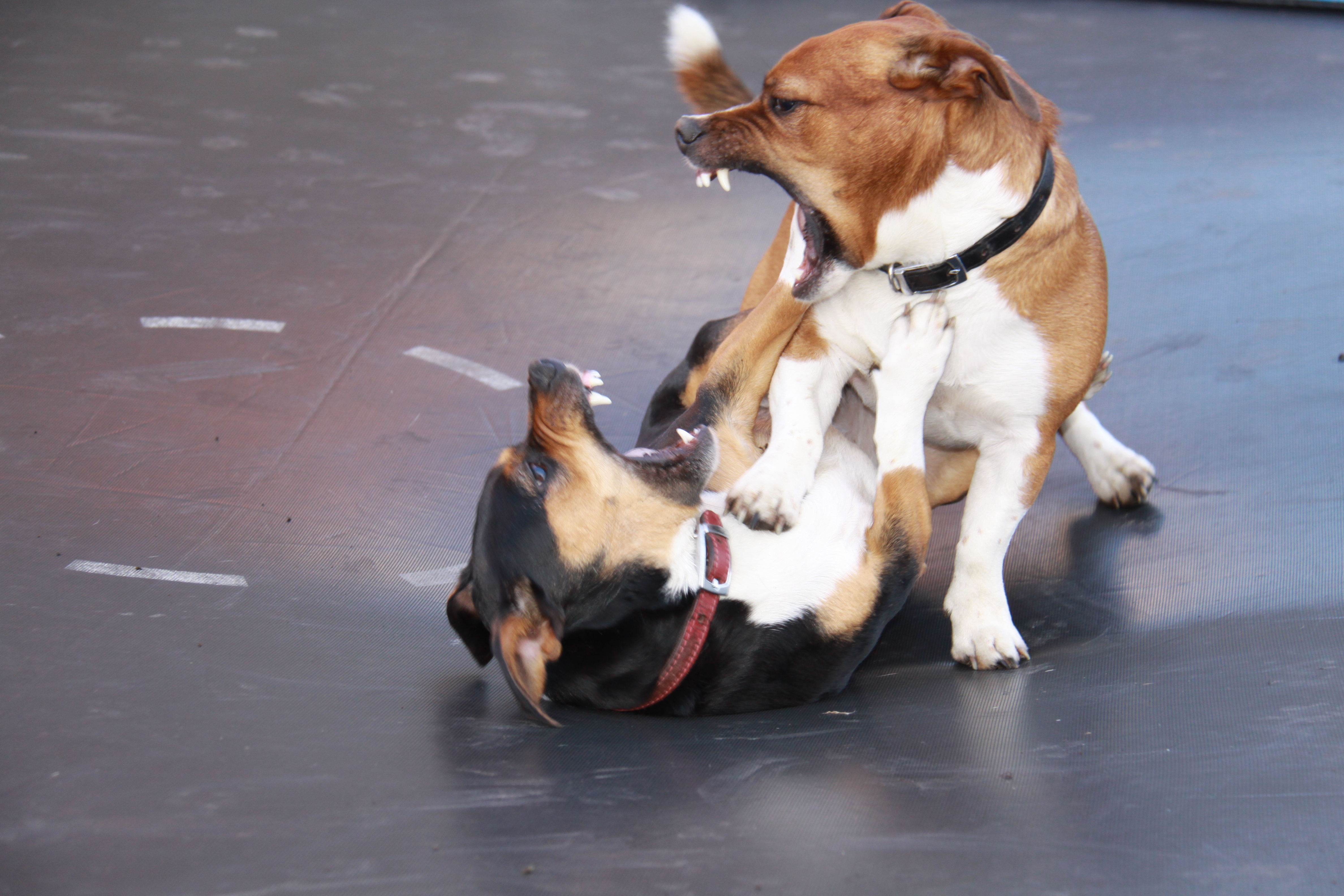 Dog Fights Videos Free Download