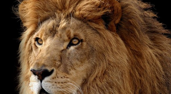 pictures of lions