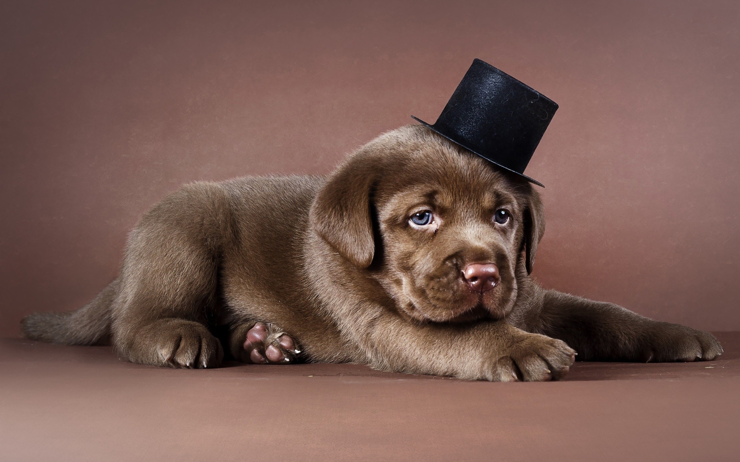 Puppies HD Wallpapers