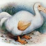 dodo bird facts