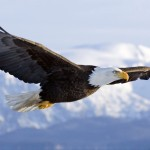 about the bald eagle