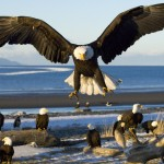 acts about bald eagles
