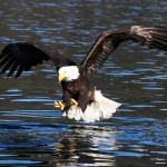 eagles bird