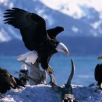 facts about eagles