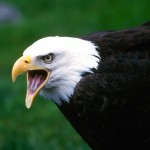 facts about eagles for kids