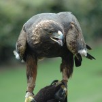 facts about golden eagles