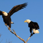 facts about the bald eagle