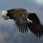 information about the golden eagle