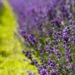 Lavender Flowers Images