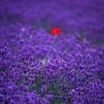 Lavender Field Flowers