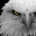 Hd Wallpapers Eagle