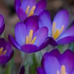 Lavender Flowers Pics