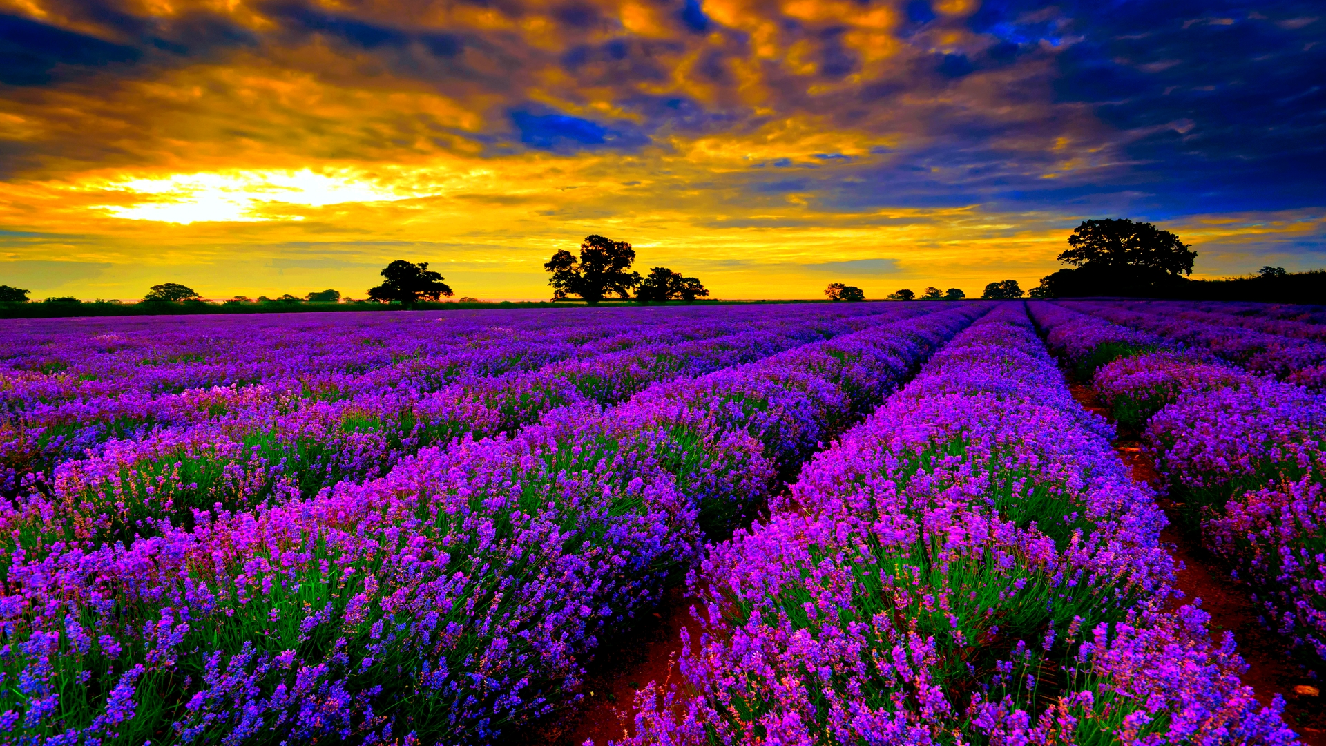 Lavender Flowers HD Wallpapers