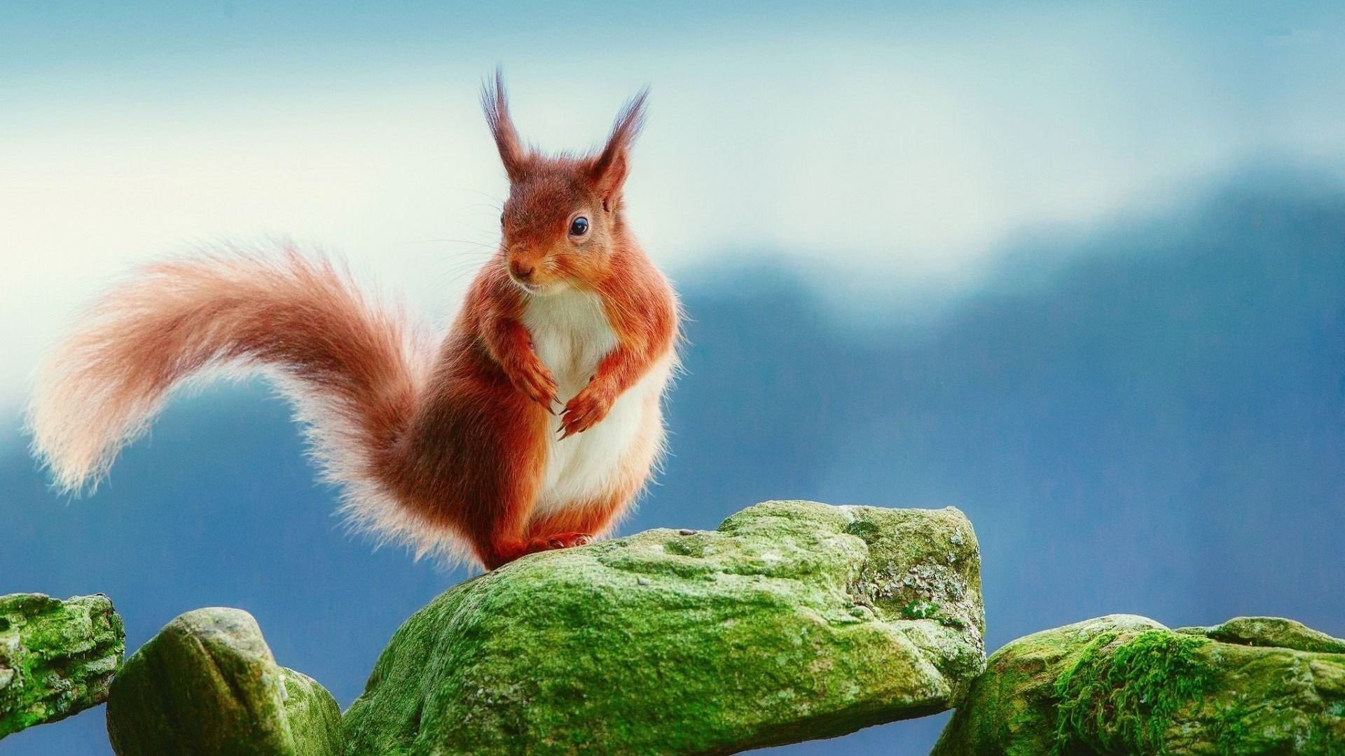 Red Squirrel Wallpapers