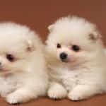 Pomeranian Mix Puppies