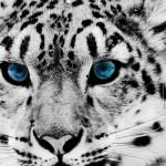 Snow Leopard Photos