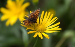 Butterfly And Flowers Images