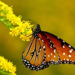 Monarch Butterfly Image