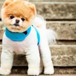 Pomeranian Walking