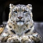 Hd Wallpaper Of Snow Leopard
