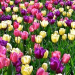 Cute Looking Tulips Spring Flowers