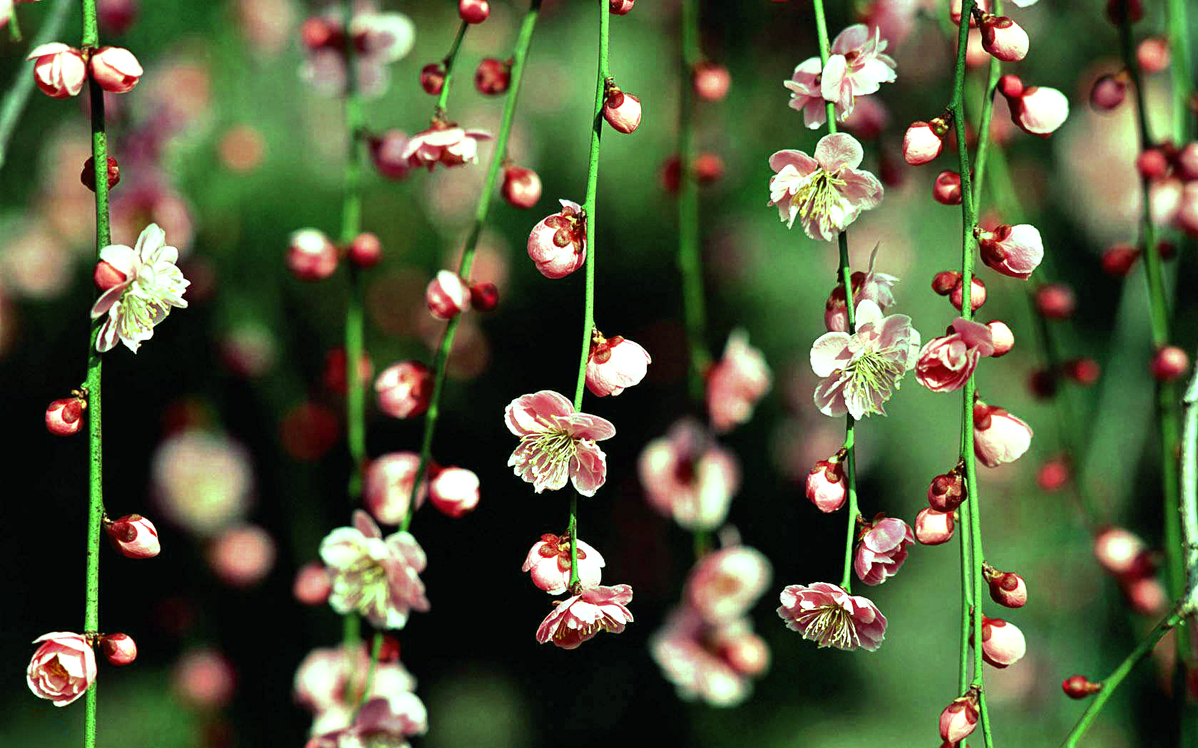 Hanging Spring Flower Hd Wallpapers