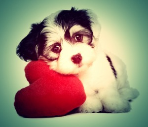 Cute-lover-valentine-havanese-puppy-dog